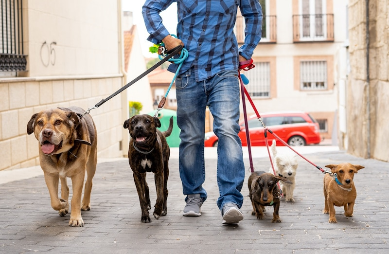 Man Getting Paid to Walk Dogs