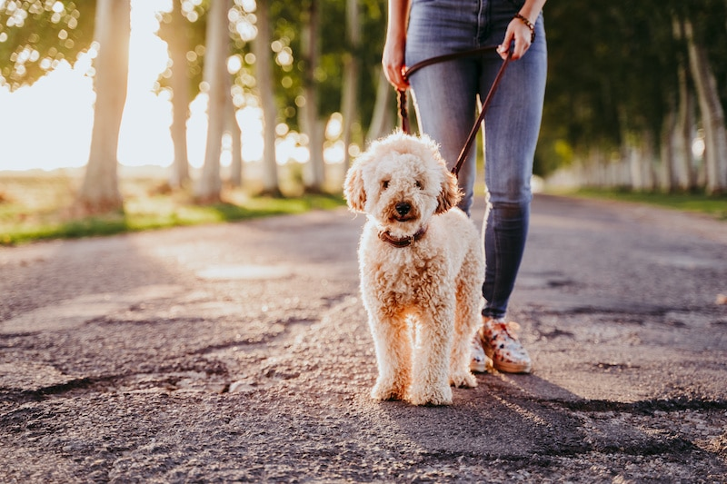 Beautiful caucasian woman walking with her cute brown poodle on the road