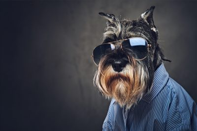 Portrait of fashionable dog dressed in a blue shirt and sunglasses.
